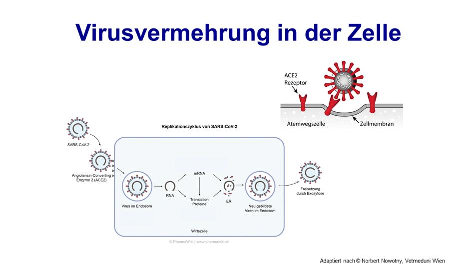 Covid-19 Virusvermehrung in der Zelle